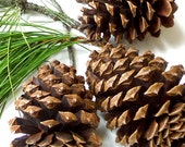 Pine Cones Ponderosa Organic Eco Country Chic Large - buffalogirls