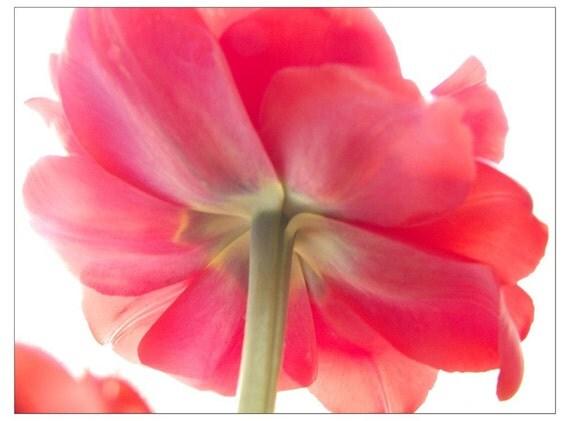 Pink Tulip Photograph, Flower Photography, Spring Tulip Floral Art Print, Botanical Wall Decor