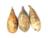 Gourds for Craft 3 Organically Grown for Ornaments Primitive Decorating - midnightcoiler