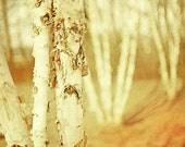 Woodland photography autumn trees fall color nature photography enchanted forest neutral pale paper white amber trees - 8x12 photograph - CarlChristensen