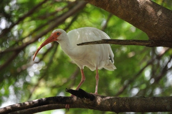 White Ibis in Tree 4x6 Fine Art Photo Print
