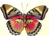 Colorful African Real Conservation Butterfly Display 442 - REALBUTTERFLYGIFTS