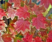Autumn Leaves-Fine Art Photography-Yosemite-Red Leaves-8X10 - carensilvestri