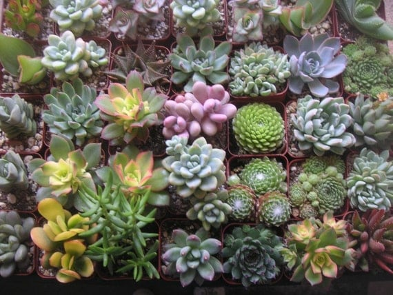 GREAT VALUE, 100 Succulents Grown In Our Greenhouse, Great For Weddings, Baby Showers, Terrariums, Rustic Favors And Special Events, Favors