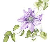 Clematis Cezanne Botanical Illustration - OSweetNature
