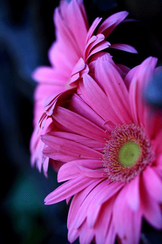 Summer Flowers -Pink Gerber Daisy Flowers- Fine Art Photograph-5inches by 7 inches-Gerber Daisy Macro Photograph