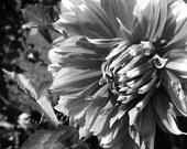 Fall Flowers, Black and White Photograph, Dahlia, Autumn Garden, Garden Art, Abstract Art, Home Decor 5X7 - Fine Art Print by Finchfield - finchfieldart
