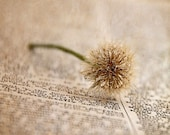 Fine Detail - Photography - Weed, Macro, Writing, Dew, Dictionary, Dandelion, Neutral, Beige - Decor - gildinglilies