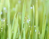 Splendor In The Grass - Photography - Fresh Green Spring Grass - Wheat grass - Dew Sparkle - Morning Lawn Garden Photograph - gildinglilies