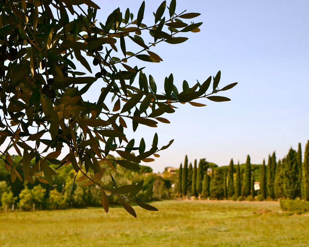 Olive Tree Photograph Rome Italy Landscape by VitaNostra on Etsy