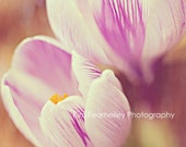 Crocus - Fine Art Photography 5 x 7 . crocus . springtime . spring . blooming . fpoe . delicate . crocus photo . home decor - kimfearheiley