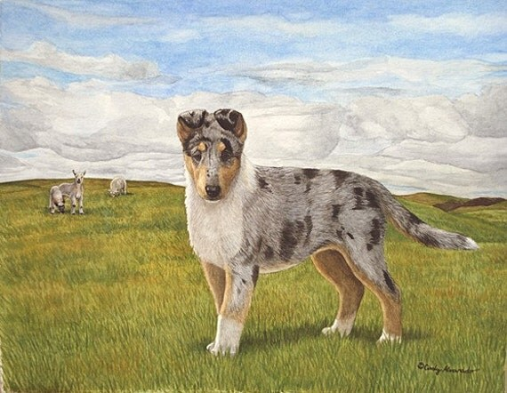 smooth collie puppy