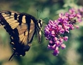 Yellow Butterfly Swallowtail sipping nectar from butterfly bush fine art photograph 8x10 print - CaptureBeautiful