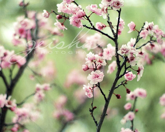 Pink blossoms spring blossoms cherry blossoms photo photograph fine art pink and green pastel
