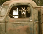 "Truck Driver Goat, Photo on 4x4 wood block. As seen in ""Southern Living"" magazine ,July,2011 - OutStandingStands"