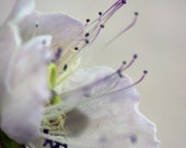 Caper - flower photograph - soft focus, dreamy, pastel floral photography - cij sale - alekaki