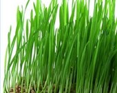1lb Wheat Seed, Wheat Grass, CatGrass, Wheat Juice - ThunderAcres