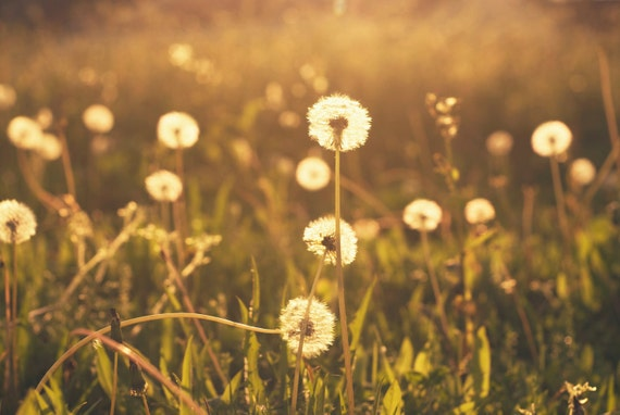 Nature Photography - fine art photography dandelions golden wishes 8x10 photograph print wall art