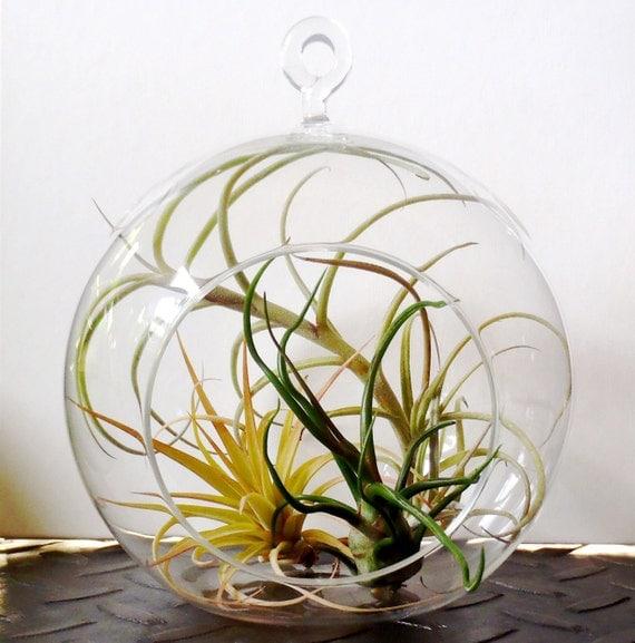 Hanging Air Plant Terrarium Tillandsias in glass globe