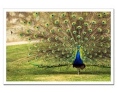 Peacock Photography, Fine Art Photography, Peafowl Showing off Feathers print canvas or photo paper 8x12 or 8x10, ohtteam under 30, under 25 - stoevvalentin