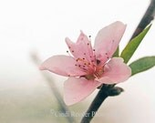 Peach Blossom, 5x7 Fine Art Photography, Flower Photography, Floral Photography - CindiRessler