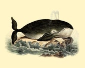 WHALE Digital Image vintage natural history illustration 072 - PixelsTransfer