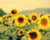 Sunflowers, Here Comes The Sun - flower, yellow, summer, nature, country - - runpoppyrun