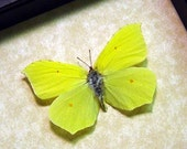 Real Framed Gonepteryx Rhamni Brimstone Ancient Greece Grecian Butterfly 8092 - REALBUTTERFLYGIFTS