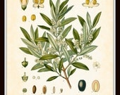Antique Olive Botanical Art Print 8x10 - Series Kohler Medicinal Plants 1887 Home Decor Digital Collage Illustration - BelleBotanica