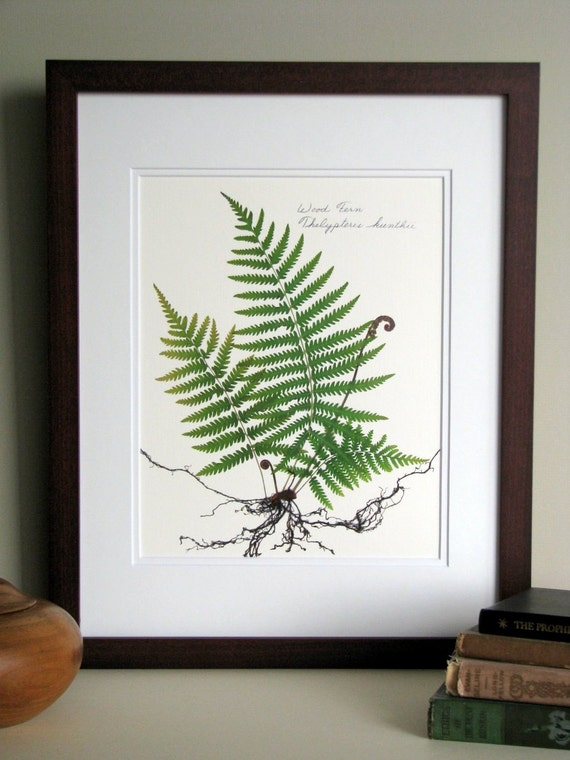 Pressed fern print, 11x14 double matted, fern study with roots, fiddlehead ferns botanical, wall decor no. 0070