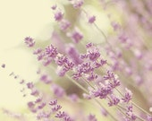 Flower Photography - Lavender Photograph - 8x10 Fine Art Photography Print - Lavender White Purple Home Decor