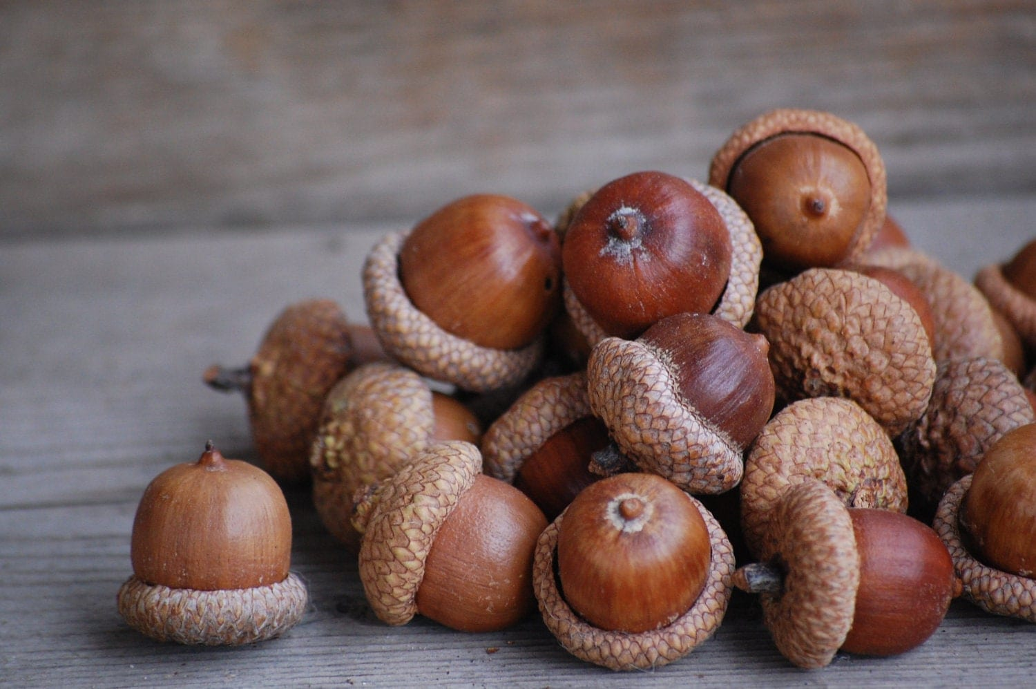 temperate climate permaculture: how to eat acorns