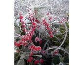 Ice Storm Frozen Red Winterberry, 8 x 12, Fine Art Photograph, Winter Ice Storm Still Life,  The Maine View