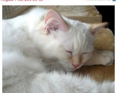Photograph White Kitten Sleeping, Honey Ragdoll Catnap, 10 x 8,  Nursery. Children's Room