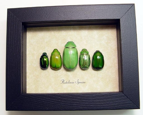 Real Framed Shiny Green Jewel Leaf Beetles Insect Collection 8090