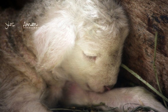 be still my heart - fine lamb photography - farm fresh cards
