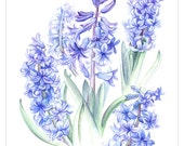 """Hyacinths - a fine art reproduction of a botanical painting by Elisabeth Sherras Clark. 23"""" x 16.5"""" Giclee print on fine art paper - Artographi"""