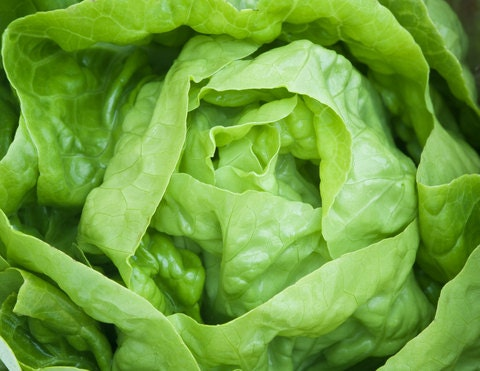Lettuce,Butter-crunch Lettuce Seeds ORGANIC Non GMO SEED (2000 Seeds ...