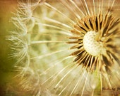 Dandelion Seed Nature Photography, Dreamy Modern Nursery, Natural Cream Green Brown Wall Decor, Wishes Remain, 8x12 Art Photo, Macro Flower - findingfocus