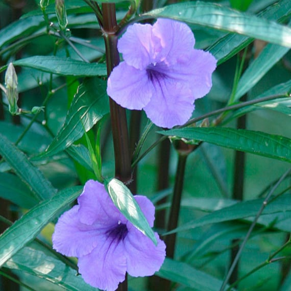 Artvine mexican petunia or ruellia one young plant for Purple low maintenance plants