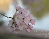 Nature Photography, Flower photography, Pink Cherry Blossom, Gifts for Mom, gift under 50, photography wall art, home decor, 8x12 print - NatureImagesByDesign