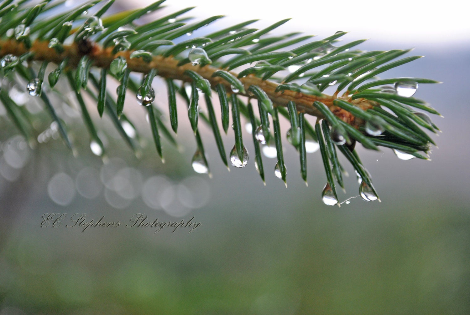 Water drops hang from these pine needles, Water drops, tree, Fine Art, Landscape, Nature Photography, 8x10 Photograph - ECStephensPhotos