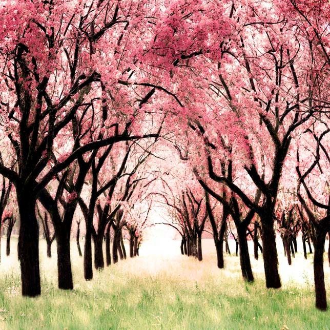 Cherry Blossom Orchard Photo Whimsical Art for a girl's room modern pink and brown nursery decor original photography  Wonderland 12x12
