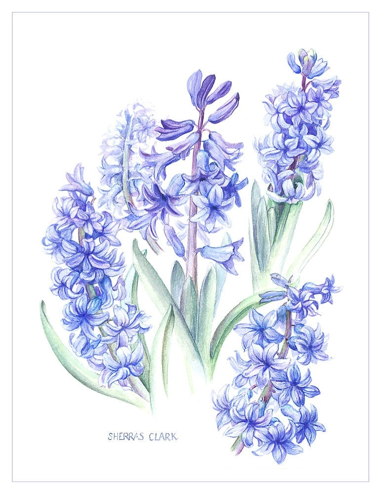 "Hyacinths - a fine art reproduction of a botanical painting by Elisabeth Sherras Clark. 23"" x 16.5"" Giclee print on fine art paper - Artographi"