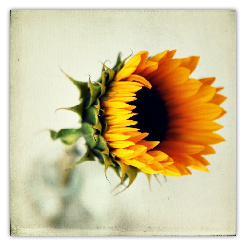 sunflower photograph, fall decor, autumn, flower photography, yellow, sunshine, honey gold, green, vintage bottle - 20x20 photograph - SeptemberWren