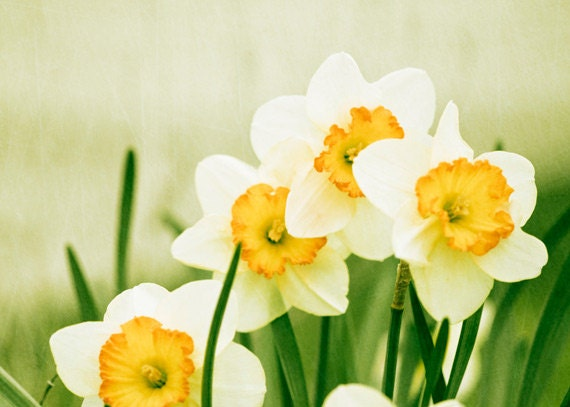 "Flower Photography - yellow green photo spring daffodil wall art prints nature photography color white - 5x7 Photograph, ""A Fresh Start"" - CarolynCochrane"