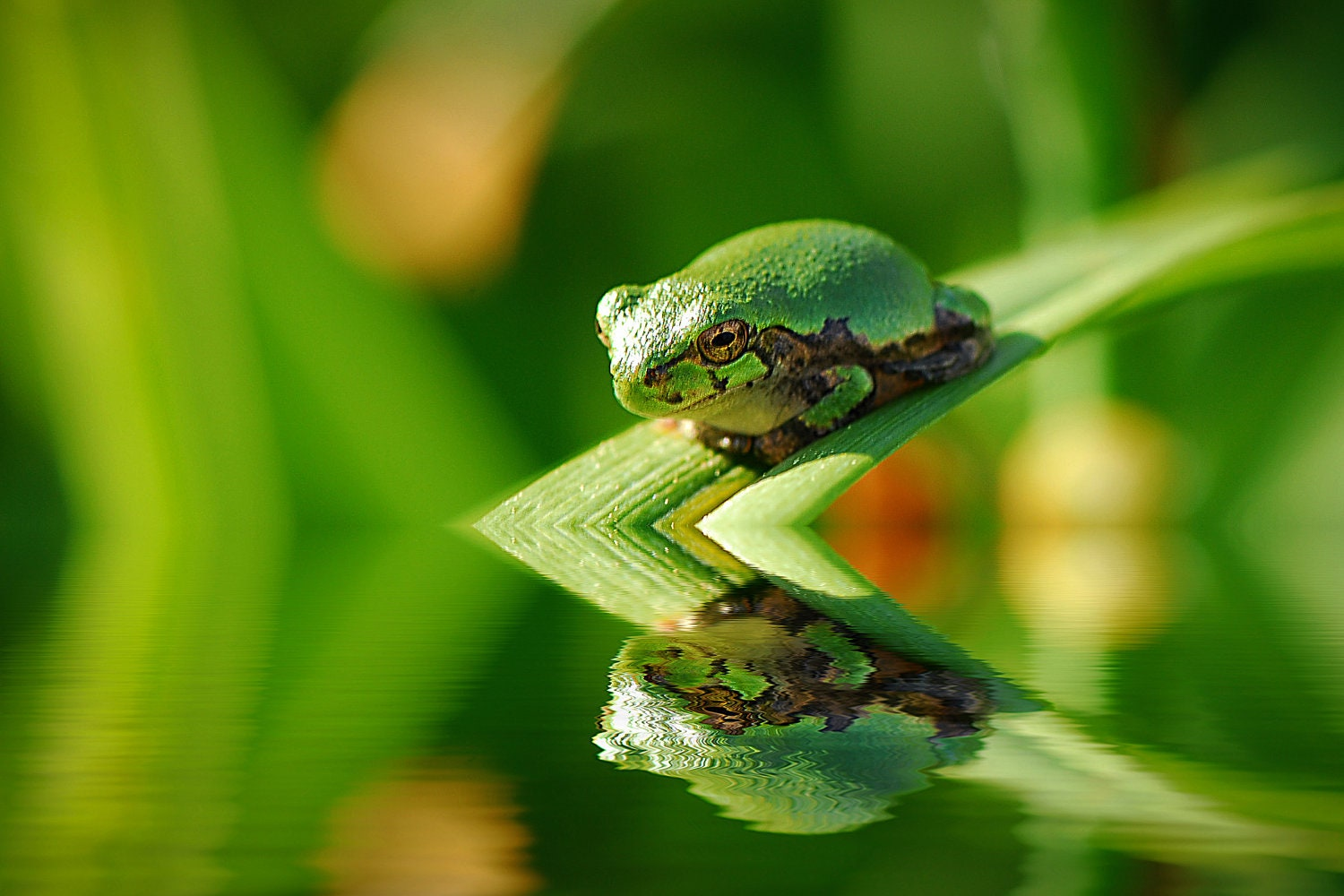 Photo Card of a Green Tree Frog, Nature Photography, Reflection, Spring Green, Water, Kid's Wall Art, Home Decor - SoulCenteredPhotoart