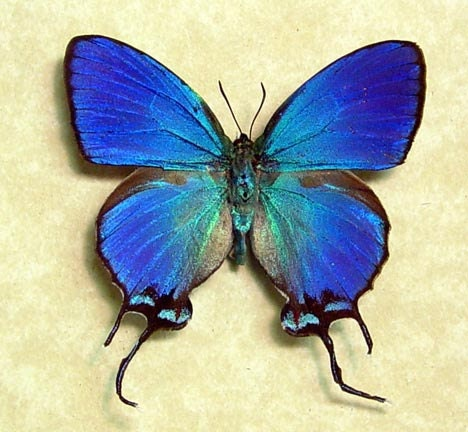 Thecla Coronata Blue Male Exotic Real Butterfly 748 - REALBUTTERFLYGIFTS