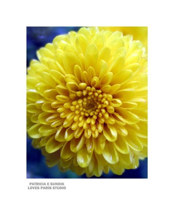 Yellow Autumn Mum Photo,16 x 20 inch,  Fine Art Poster Print
