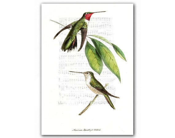 Mexican Amethyst Humming Birds, vintage illustration printed on parchment paper - DejaVuPrintStore